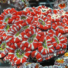Acan Coral, large stony coral