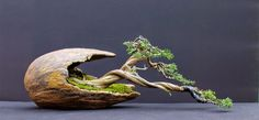 seems to dovetail the discipline of bonsai and the art of ikebana. Ikebana, Mini Bonsai, Bonsai Trees For Sale, Juniper Bonsai, Decoration Plante, Miniature Trees, Bonsai Garden, Garden Trees, Trees To Plant