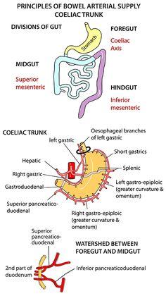 Instant Anatomy - Abdomen - Vessels - Arteries - Coeliac trunk branches
