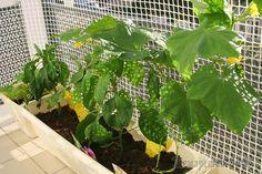 Огурцы на балконе – забытая технология выращивания