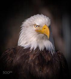 Eagle Portrait by Peter Comninellis / 500px