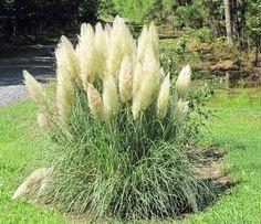 herbe de la pampas- graminées ornementales dans l'aménagement du jardin
