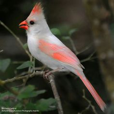 Have you even seen a bird that looked pale? It might be leucistic.  Leucistic birds differ from albinos in that they can produce melanin but can't deposit it into their feathers, which results in muted or partial coloration.