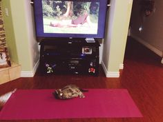 This cat was left alone with the yoga equipment…. . Via Reddit. http://sulia.com/channel/cats/f/3bc263d1c3b1fd63cd63391bb1a08ab7/?pinner=119866023