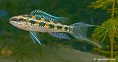 Dicrossus filamentosus - Schaakbordcichlide