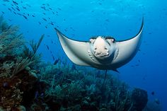 Spotted Eagle Ray Spotted Eagle Ray, Deep Blue Sea, Under The Sea, Diving, Whale, Batman, Ocean, Nature, Animals
