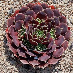 Jovibarba heuffelli - commonly known as Jupiter's beard and also Hen and Chicks