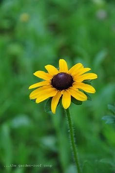'Black-eyed Susan'- will be growing in my yard too- amongst my herbs!