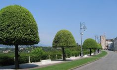 Boulevard of Mushroom-shaped Quercus Ilex - Viale dei Martiri, Bassano del Grappa, Italy