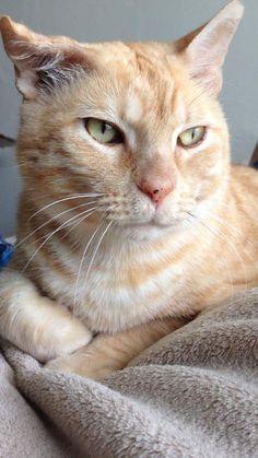 My sweet orange tabby cat