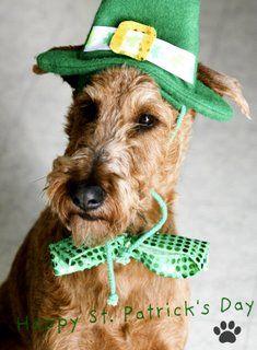 My lucky Irish Tucker...St. Patrick's Day