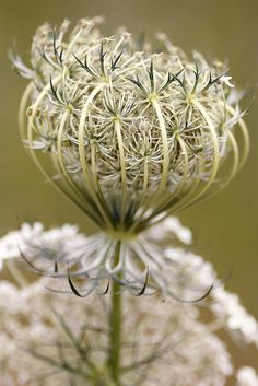 ~~Daucus Carota • Queen Anne's Lace by dedalus11~~