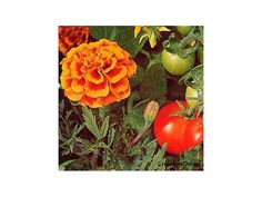 Plant friends : Marigolds help tomatoes and roses grow better. Nasturtiums keep bugs away from squash and broccoli. Petunias protect beans from beetles and oregano chases them away from cucumbers. Geraniums keep Japanese beetles away from roses and corn. Chives make carrots sweeter, and basil makes tomatoes even tastier
