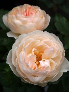 Rose 'The Shepherdess', David Austin. Rare Flowers, Pretty Flowers, Orchid Flowers, Cactus Flower, Exotic Flowers, Bed Of Roses, Tea Roses, Color Melon, Ronsard Rose