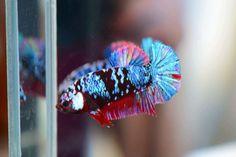 Pretty Fish, Beautiful Fish, Koi Betta, Betta Fish Types, Beta Fish, Siamese Fighting Fish, Live Art, Animals Of The World, Freshwater Fish