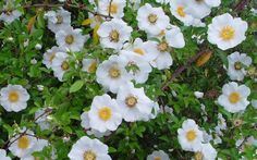 Cherokee Rose (Georgia State Flower)
