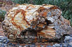 Ginkgo Petrified Tree