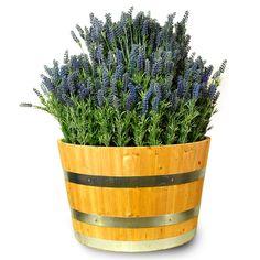 Lavender bush bloomi