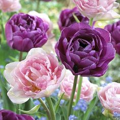 Martha Stewart Living Tulip Angelique & Tulip Blue Diamond Dormant Bulbs - The Home Depot Winter Plants, Summer Plants, Bulbous Plants, Tulip Bulbs, How To Attract Hummingbirds, Spring Bulbs, Bulb Flowers, Tulips Flowers, Planting Bulbs