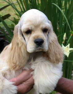 #American #Cocker #Spaniel #puppy #dog