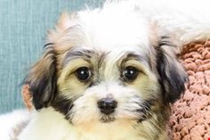 One of our cute havanese puppies Havanese dogs, Havanese