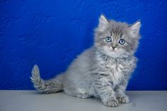 Ragdoll Kitten for Sale Near Me. We Have Outstanding Variety of Loving Ragdoll Kittens For Sale. Newborn Ragdoll Kittens and Adult Cats Kittens Near Me, Ragdoll Kittens For Sale, Munchkin Kitten, Kitten For Sale, Cats For Sale, Cats And Kittens, Ragamuffin Kittens, Ragdoll Cattery, Teacup Kitten
