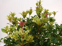 OSMANTHUS heterophyllus Goshiki : feuillage estival.