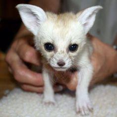 Baby Fennec Fox makes me go awwwwww!!!