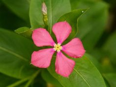 Catharanthus trichophyllus is a perennial herb up to 3.3 feet (1 m) tall. It contains a white latex. The stems and branches are squared...