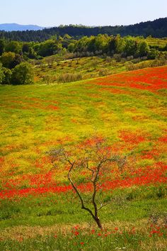 Taken along the Red route from Siena to Asciano, and this beautiful blooming poppy field was found on the Pink route from Asicano to Montepulciano.