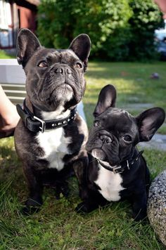 Fröken 4 years old and Stumpan 10 weeks old. Stockholm Sweden. French Bulldogs
