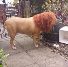 190 lb Mastiff from the shelter...$50. Wig from Spencer's...$13. The look on the neighbors faces...PRICELESS!