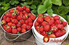 Videla som, že sa tu veľa píše o domácich hnojivách na jahody. Teší ma, že sa ľudia konečne vracajú k tomu, čo je najlepšie – starým receptom našich babičiek. S jedným sa chcem podeliť aj