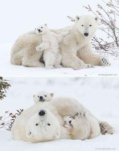 Momma bear teaching baby bear how to bear Cute Funny Animals, Cute Baby Animals, Animals And Pets, Wild Animals, Animal Pictures, Cute Pictures, Baby Polar Bears, Teddy Bears, Baby Pandas