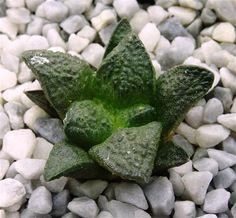 CactusloftAriocarpus fissuratus El Hundido