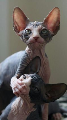Funny Animal Picdump of the Day 166 photos) - Cat Breeds I Love Cats, Crazy Cats, Cool Cats, Funny Animals, Cute Animals, Cat Plants, Gatos Cats, Sphynx Cat, Hairless Cats