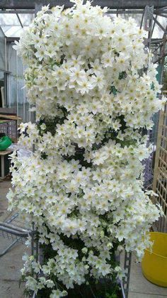 free ship clematis bulbs, clematis bonsai mix, clematis hybridas Climbing plants garden landscaping, 100 flores, - Another! Climbing Clematis, Clematis Plants, Clematis Vine, Flowers Perennials, Planting Flowers, Clematis Flower, White Clematis, Bonsai Flowers, Clematis Varieties
