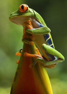 Animals And Pets, Baby Animals, Funny Animals, Cute Animals, Green Tree Frog, Red Eyed Tree Frog, Cute Reptiles, Reptiles And Amphibians, Majestic Animals