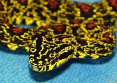 colorful snakes | source this snake species is probably one of the most colorful snakes ...