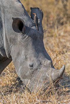 White Rhino. Africa