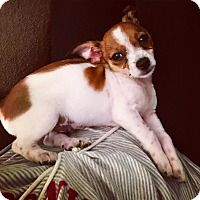 Chihuahua Mix Puppy for adoption in Manhattan, New York - Anders