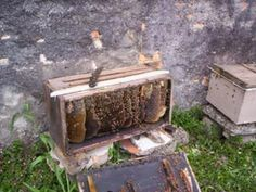 flores com abelhas africanizadas - Pesquisa Google