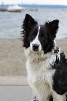 My angel Border Collie Pictures, Herding Dogs, Lurcher, Collie Dog, Dog Quotes, Tuxedo, Animals And Pets, Puppy Love, Best Dogs