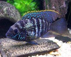 Blue Acara (Andinoacara pulcher)