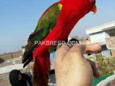 Pakbreed - Sell and Buy top breeds in Pakistan Birds For Sale, Buy Birds, National Animal, Buy Pets, Livestock, Beautiful Birds, Pakistan, Bugs, Butterflies