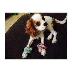 🐶 * * * / シュシュ噛むからって… で、 この顔の角度でいいんやろ?w \ * * * #キャバリアキングチャールズスパニエル  #キャバリア #ブレンハイム  #いぬすたぐらむ #犬 #愛犬  #itsacavthing#cavlife #cavalier #ckcs#cavlove #cavalierkingcharlesspaniel  #cavaliercommunity #instadog #dog #doggy #doglover #lovedog #doglife  #petstagram #pet  #cute #cutedog #mydog #puppy #pup #happydog #dogs_of_insta