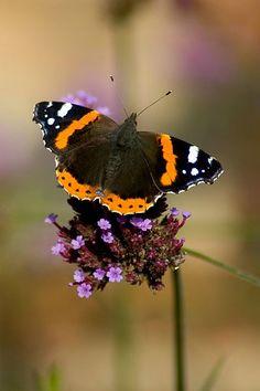 British Butterflies (britbutterflies) on Twitter