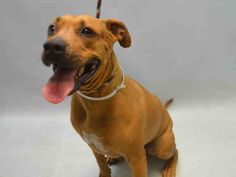 A1068912 Roxy FEMALE, BROWN, AM PIT BULL TER MIX, 5 yrs OWNER SUR – EVALUATE, NO HOLD Reason NO TIME Intake condition UNSPECIFIE Intake Date 03/30/2016, From NY 11223, DueOut Date 03/30/2016