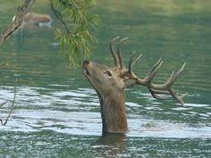 Un ciervo en el agua comiendo hojitas verdes