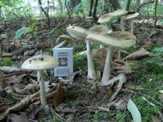 Amanita Phalloides, Stuffed Mushrooms, Bird, Outdoor Decor, Home Decor, Arrows, Stuff Mushrooms, Decoration Home, Room Decor